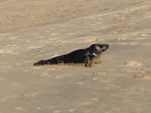 I've never seen a seal on Hayle beach before
