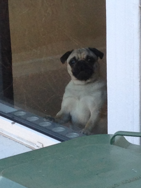 Neighbour's pug